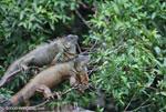 Green iguanas in a tree