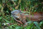 Orange adult iguana