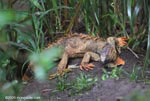Sickly-looking adult male iguana