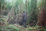 Man harvesting sugar cane