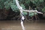 Neotropical cormorants (Phalacrocorax olivaceus). [costa-rica_0026]