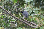 Yellow-crowned Night-Heron (Nyctanassa violacea) [costa-rica_0046]