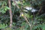 Grey-capped Flycatcher (Myiozetetes granadensis)