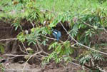 Amazon Kingfisher (Chloroceryle amazona) [costa-rica_0061]