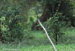 Amazon Kingfisher (Chloroceryle amazona) [costa-rica_0062]