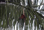 Montezuma Oropendola (Gymnostinops montezuma) in a palm tree