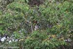 Montezuma Oropendola (Gymnostinops montezuma) in a palm tree [costa-rica_0079]