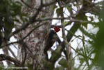 Pale-billed Woodpecker (Campephilus guatemalensis) [costa-rica_0089]