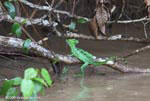 The Green Basilisk (Basiliscus plumifrons) is found on the Caribbean slope of Costa Rica