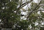 Mantled Howler Monkey (Alouatta palliata) [costa-rica_0151]