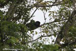 Mantled Howler Monkey (Alouatta palliata) [costa-rica_0152]