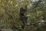 Golden-mantled Howler Monkey (Alouatta palliata)