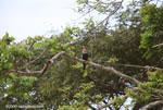 Anhinga or snake bird (Anhinga anhinga) [costa-rica_0174]