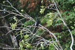Neotropical cormorant [costa-rica_0175]