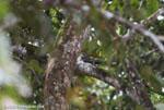 Pauraque (Nyctidromus albicollis) [costa-rica_0215]