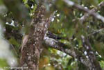 Pauraque (Nyctidromus albicollis)