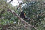 Black Howler Monkey (Alouatta palliata) [costa-rica_0256]