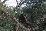 Black Howler Monkey (Alouatta palliata) [costa-rica_0257]