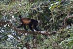 Black Howler Monkey (Alouatta palliata)