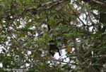 Juvenile Black Howler Monkey (Alouatta palliata)