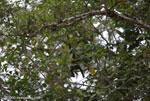 Juvenile Black Howler Monkey (Alouatta palliata) [costa-rica_0268]