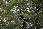 Mother and baby black howler Monkeys (Alouatta palliata)