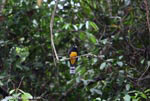 Black-headed trogon (Trogon melanocephalus) [costa-rica_0272]