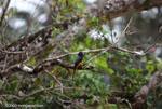 Black-headed trogon (Trogon melanocephalus) [costa-rica_0278]
