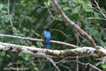 Black-headed trogon (Trogon melanocephalus) [costa-rica_0280]