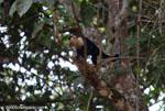White-faced Capuchin (Cebus capucinus) [costa-rica_0281]