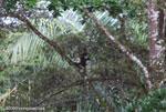 Spider monkey (Ateles geoffroyi ornatus) [costa-rica_0285]