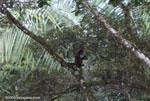 Spider monkey (Ateles geoffroyi ornatus) feeding on a tamarind [costa-rica_0286]
