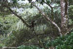 Spider monkey (Ateles geoffroyi ornatus) [costa-rica_0287]