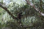 Spider monkey (Ateles geoffroyi ornatus) feeding on a tamarind