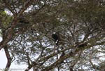 Male howler monkey