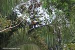 Spider monkey (Ateles geoffroyi ornatus) [costa-rica_0292]