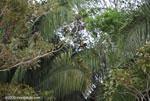 Spider monkey (Ateles geoffroyi ornatus) [costa-rica_0293]