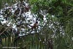 Spider monkey (Ateles geoffroyi ornatus)