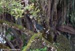 Green Ibis (Mesembrinibis cayennensis) [costa-rica_0298]