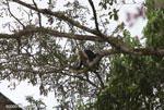 White-faced Capuchin (Cebus capucinus) [costa-rica_0304]