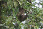 Costa Rican Three-toed Sloth (Bradypus tridactylus)