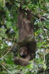Three-toed Sloth (Bradypus tridactylus) [costa-rica_0347]