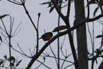 Red-breasted Blackbird (Sturnella militaris) [costa-rica_0356]