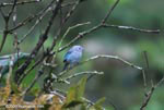 Blue-gray Tanager (Thraupis episcopus) [costa-rica_0383]