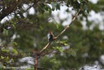 Bird [costa-rica_0388]