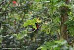 Passerini's Tanager (Ramphocelus passerinii) [costa-rica_0395]
