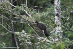 Crested Guan (Penelope purpurascens) [costa-rica_0396a]