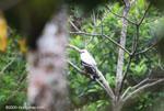 White Hawk (Leucopternis albicollis) [costa-rica_0404]