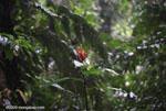 Bird of paradise [costa-rica_0461]