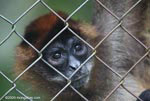 Caged spider monkey